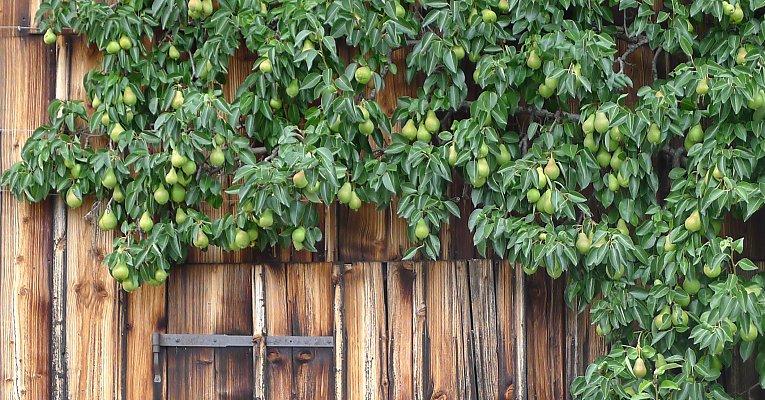 Klettergerüst Pflanzen Holz : Obstspaliere spalierobst obst am spalier große Übersicht